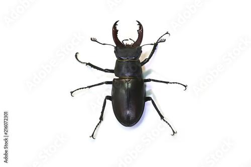 Fotografie, Obraz  stag beetle (Lucanus cervus) on a white background.