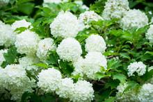 Guelder Rose (viburnum Opulus) White Blossom Branches. Selective Focus.