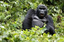 Gorilla Beringei Beringei Mont...