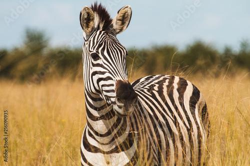 Poster Zebra Zebra in the wild