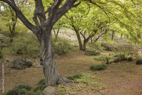 Fotografie, Obraz  Twisted trunk of a maple tree in the Rikugien park garden in Bunkyo district, north of Tokyo
