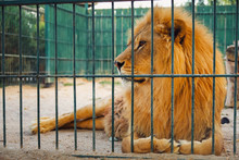 A Lion Lies In The Cage. The Majestic King Of Beasts.