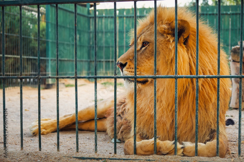 Slika na platnu A lion lies in the cage. The majestic king of beasts.