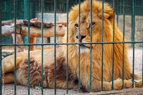 Photo A lion lies in the cage. The majestic king of beasts.