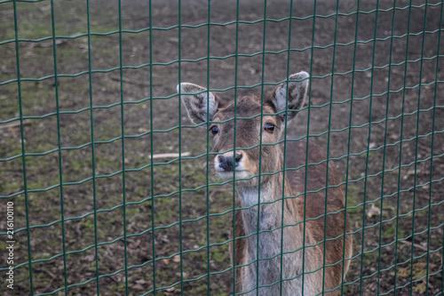 Staande foto Ree Reh hinter einem Zaun