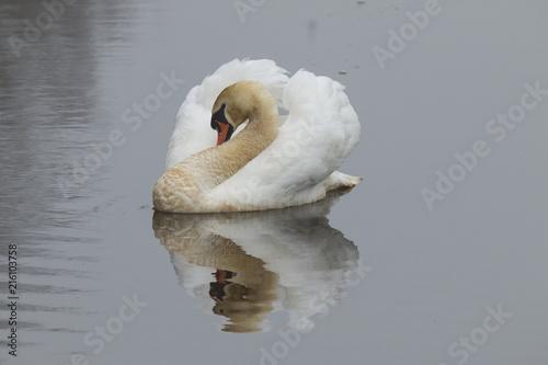 Fotobehang Zwaan Swan, Cygnus