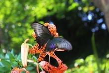オニユリの花の蜜を吸うカラスアゲハ
