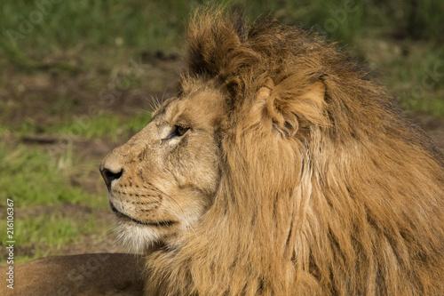 Foto op Plexiglas Leeuw Lion, male. Panthera leo