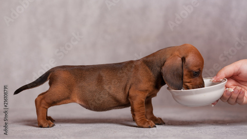 Fotografia, Obraz cute puppy dachshunds on a gray background in the Studio red color