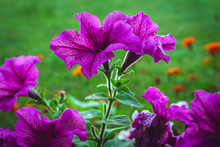 Flowers Petunia In A Flowerbed On A Background Of Green Grass Close-up With Copy Space