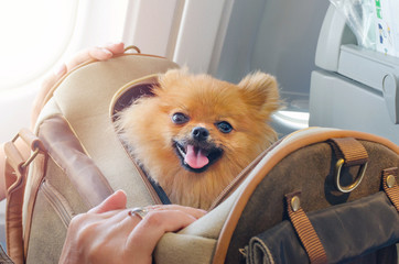 Fototapeta Pies small dog pomaranian spitz in a travel bag on board of plane, selective focus