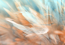 Colorful Chicken Feathers In Soft And Blur Style, Background Is For Backdrop Design