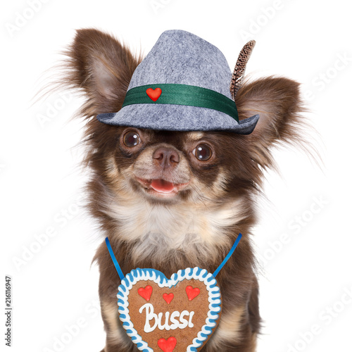 Poster Crazy dog bavarian chihuahua dog with owner isolated on white background , ready for the beer celebration festival in munich , with owner