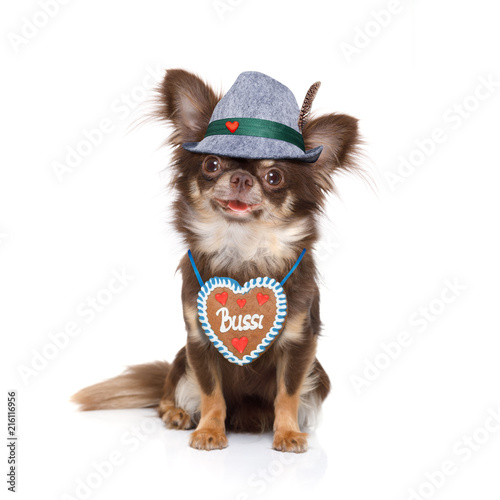 Foto bavarian chihuahua dog with owner  isolated on white background , ready for the