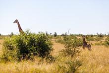 A Mother Giraffe And Calf Walk Through The Bush, Kruger Park, South Africa.