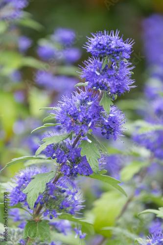 Foto  Clandon-Bartblume 'Blauer Spatz' (Caryopteris x clandonensis)