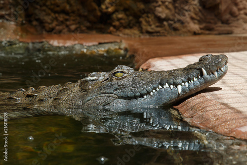 Foto op Aluminium Krokodil Dark skinned green crocodile in bright sunlight floating in water