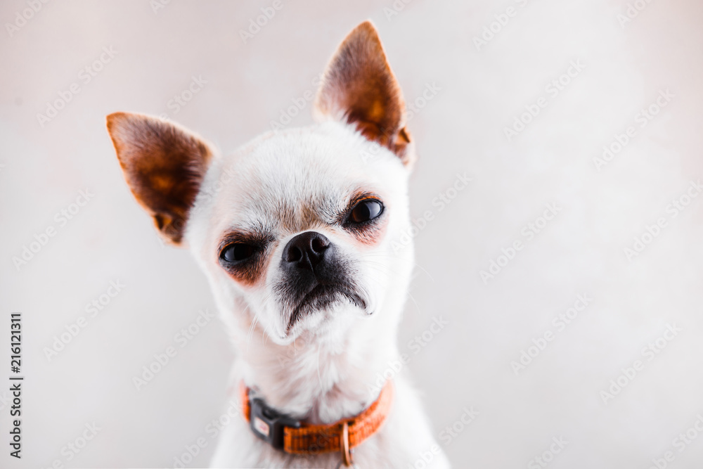 Evil Chihuahua Looks Into The Camera