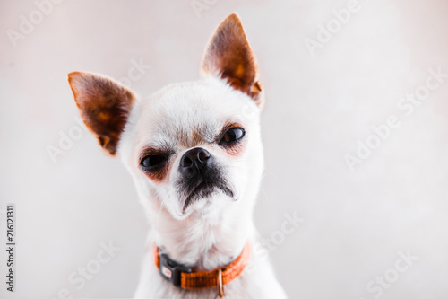 Fotografía  Evil Chihuahua looks into the camera with a displeased expression of the muzzle