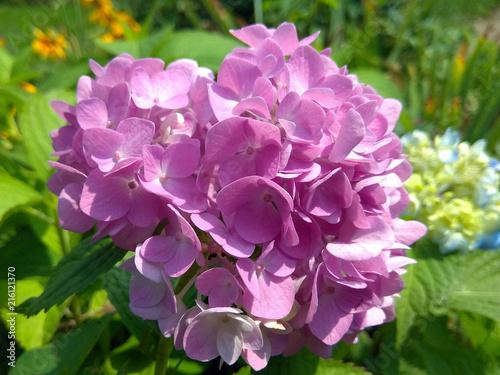 Fotobehang Hydrangea Pink hydrangea flower macro photo