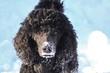 canvas print picture - Hund Pudel Puppy schwarz im Schnee.