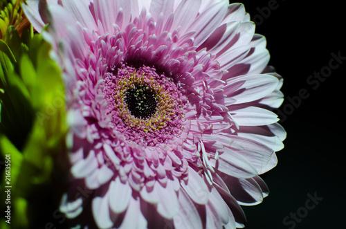Fotobehang Gerbera gerbera flower on a black background, gerbera in the shade