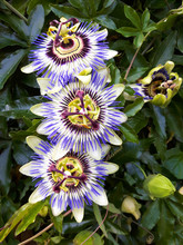 Three Passion Flowers Above Each Other.