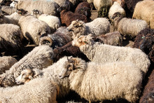 A Flock Of Sheep Driven Togeth...