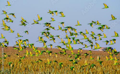 Fotografia White-eyed Parakeet flying