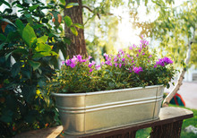 Flowers Big Bucket In The Street. Sunset Rays On Flowers