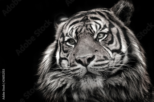 Ingelijste posters Tijger Black and white image of a tiger in high quality