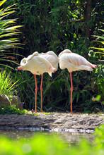 Three Flamingos, Indonesia