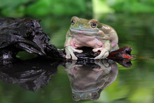 Dumpy Tree Frog Sitting By A Pond, Indonesia