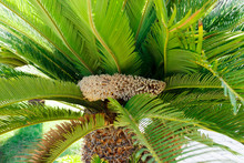 Flowering Palm Trees Cone Against The Background Of Green Leaves
