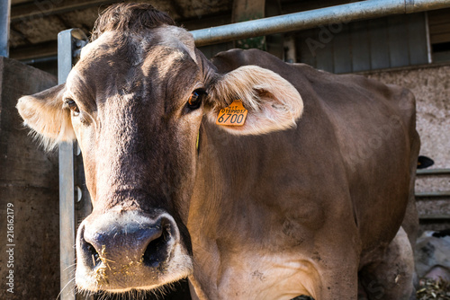 Fotobehang Koe Dairy cow