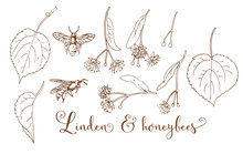 Collection Of Hand Drawing  Silver Linden & Honeybees