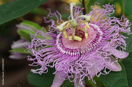 Fotografie, Obraz  Passion fruit flower close up selective focus