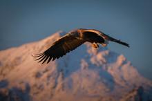 White-tailed Eagle (Haliaeetus Albicilla), In Flight, Hunting For Fish, íƒ I Lofoten, Nordland, Norway
