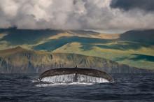Humpback Whale's Tail Above Wa...