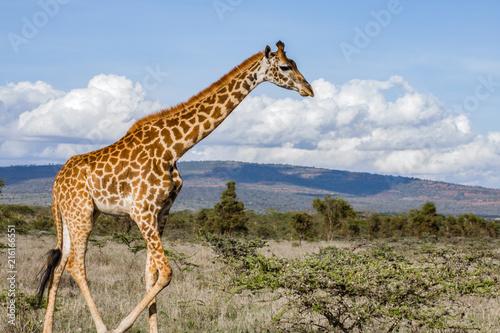 Spoed Foto op Canvas Giraffe Lonely Giraffe in nature