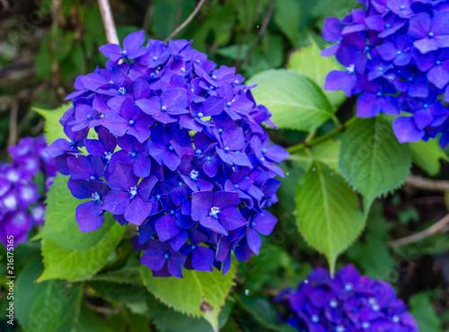 Foto op Plexiglas Hydrangea Blue Hydrangea Blossoms Closeup 4