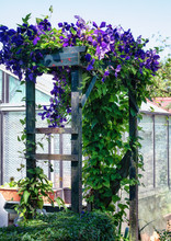 Arcade Beautifully Covered With A Flowering Clematis