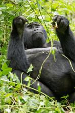 Gorilla Di Montagna (gorilla B...