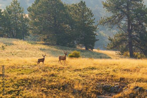 Herd of Mule Deer Bucks