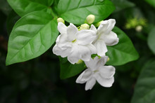 Jasmine Tea Flower, Arabian Ja...