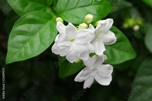 Photographie jasmine tea flower, arabian jasmine, jasminum sambac