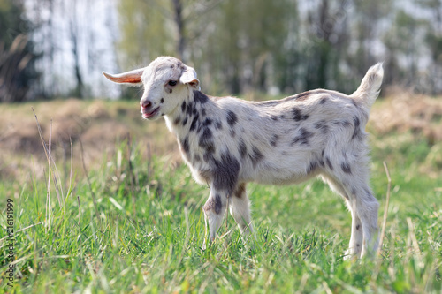 Fotografie, Obraz  Portrait of spotted little goatling in the meadow, White goat with gray spots