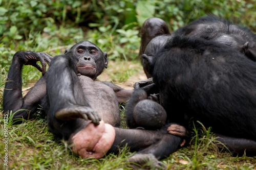 Fotobehang Aap Scimmia primate Bonobo Pan Paniscus nella riserva in Repubblica Democratica del Congo