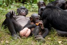 Scimmia Primate Bonobo Pan Pan...
