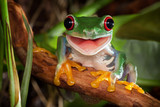 Fototapeta Zwierzęta - Red-eyed tree frog sitting on a branch and smiling